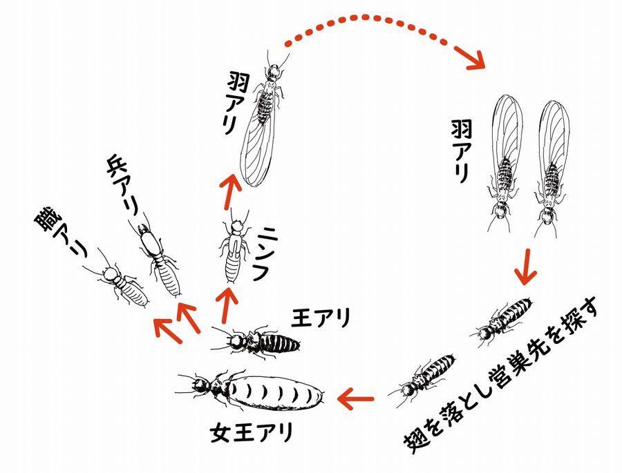 シロアリのライフサイクル