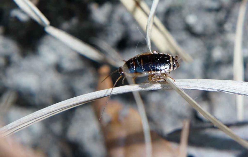 森に生息するキゴキブリの幼虫