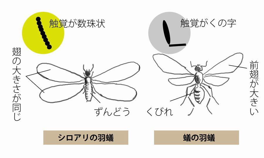 シロアリと黒蟻の羽アリの違い